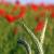 rojo · amapola · flores · campo · verano - foto stock © goce