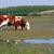 marrom · vaca · em · pé · verde · campo · olhando - foto stock © goce