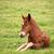 brown foal lying on green grass field stock photo © goce