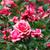 roses garden spring season stock photo © goce