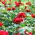 red rose flowers garden springtime stock photo © goce