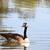 ガチョウ · カナダ · 自然 · 鳥 · 屋外 - ストックフォト © goce