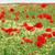 czerwony · maki · kwiat · łące · Błękitne · niebo · wiosna - zdjęcia stock © goce