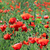 vermelho · papoula · flor · abelha · primavera · natureza - foto stock © goce