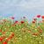 haşhaş · kır · çiçekleri · çayır · bahar · sezon - stok fotoğraf © goce