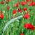 gelincikler · Portekiz · bahar · çim · bahçe - stok fotoğraf © goce