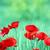 Poppies flower on meadow spring season stock photo © goce