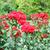 roses flower garden spring season stock photo © goce