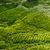 Tea plantation  stock photo © goinyk