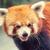 красный · Panda · зоопарке · любопытный · каменные · китайский - Сток-фото © goinyk