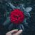 red rose in garden stock photo © goinyk