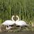heart shape swan necks stock photo © gordo25