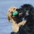 dogs retreiving the same ball in the water stock photo © gordo25