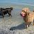 два · собаки · играет · пляж · войны · Stick - Сток-фото © gordo25