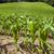jovem · milho · plantas · úmido · campo - foto stock © gordo25