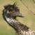 emu closeup stock photo © gordo25