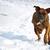 nyáj · ikra · tél · nap · fut · hó - stock fotó © goroshnikova