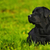 labrador retriever lying in bright green grass stock photo © goroshnikova