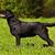 labrador retriever standing in the show position stock photo © goroshnikova