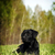 serious black labrador lying on the grass stock photo © goroshnikova
