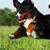 belo · feliz · bernese · mountain · dog · saltando · verão - foto stock © goroshnikova