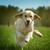 giovani · felice · cane · golden · retriever · gioia - foto d'archivio © goroshnikova