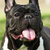 happy dog of the french bulldog lies in summer stock photo © goroshnikova