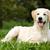 spelen · golden · retriever · witte · hond · bal · speelgoed - stockfoto © goroshnikova