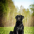 serious black labrador sitting on the grass stock photo © goroshnikova