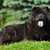 happy black fuzzy dog the chow chow lying in the summer on the n stock photo © goroshnikova