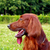 profile of the irish setter stock photo © goroshnikova