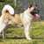 dog breed akita inu stands sideways to show the position stock photo © goroshnikova
