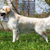 beautiful purebred dog golden retriever standing in the show pos stock photo © goroshnikova