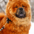 китайский · собака · голову · портрет · глаза · счастливым - Сток-фото © goroshnikova
