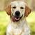mutlu · köpek · altın · bakıyor · kamera - stok fotoğraf © goroshnikova