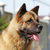 dog breed akita inu in the summer heat outdoors stock photo © goroshnikova