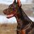 beautiful purebred brown Doberman dog  stock photo © goroshnikova