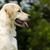 golden · retriever · kutya · fut · fut · vicces · fiatal - stock fotó © goroshnikova