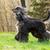 beautiful Afghan hound dog runs  stock photo © goroshnikova
