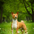 beautiful purebred basenji dog stock photo © goroshnikova