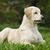 golden · retriever · kutyakölyök · gyönyörű · portré · vicces · fiatal - stock fotó © goroshnikova