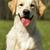golden · retriever · hond · gewei · grappig · naar · camera - stockfoto © goroshnikova