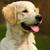 happy puppy golden retriever walks in the summer on the nature stock photo © goroshnikova