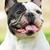 happy dog of breed french bulldog black and white in color stock photo © goroshnikova