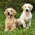 two golden retriever stock photo © goroshnikova