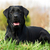 happy dog labrador retriever stock photo © goroshnikova