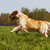 Happy dog Golden Retriever jumps stock photo © goroshnikova