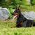 доберман · портрет · области · прыжки · собака - Сток-фото © goroshnikova