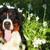 beautiful happy dog bernese mountain dog stock photo © goroshnikova