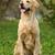 boldog · kutya · golden · retriever · ül · fű · haj - stock fotó © goroshnikova